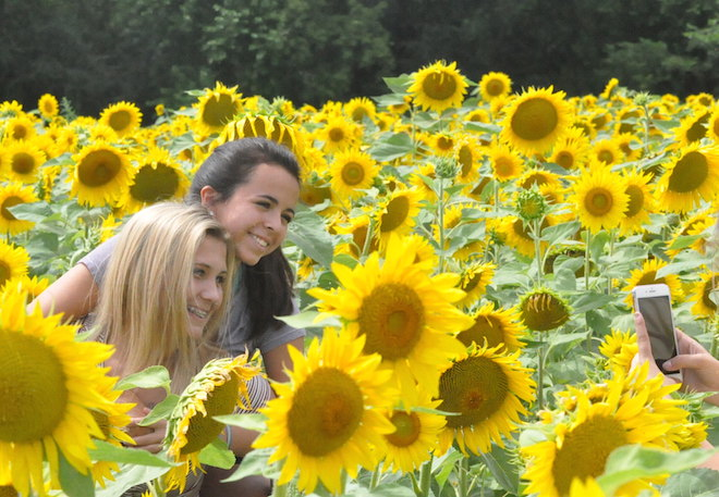 Sunflower field reopens
